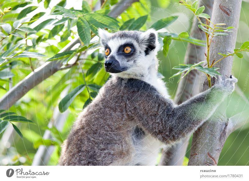 Katta (Lemur catta) Natur weiß Baum Tier schwarz Afrika Zoo Wildnis Madagaskar Maki
