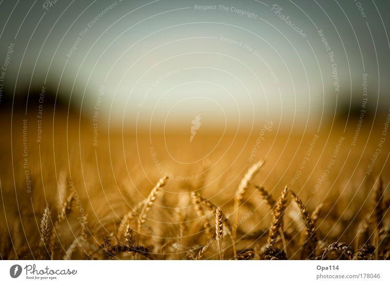 fields of gold Farbfoto Außenaufnahme Detailaufnahme Menschenleer Textfreiraum oben Tag Licht Kontrast Weitwinkel Blick nach vorn Umwelt Natur Landschaft