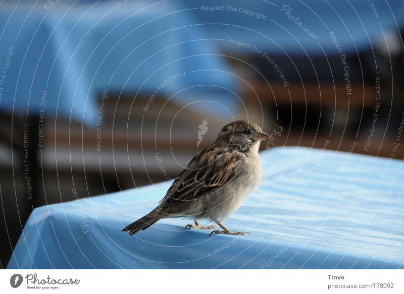 Spatz blau Tier natürlich Vogel Neugier Tischwäsche Gastronomie Schüchternheit Tierliebe zierlich bescheiden Biergarten Nahrungssuche