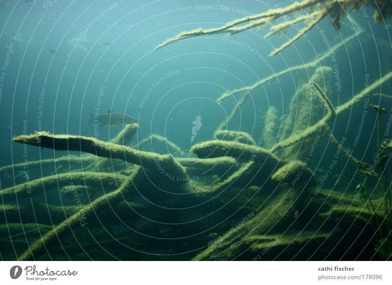 tiefseetaucher Farbfoto Menschenleer Licht Fisch Umwelt Natur Wasser Moor Sumpf See Tier Zoo Aquarium weich blau grün schwarz Baum Ast Algen