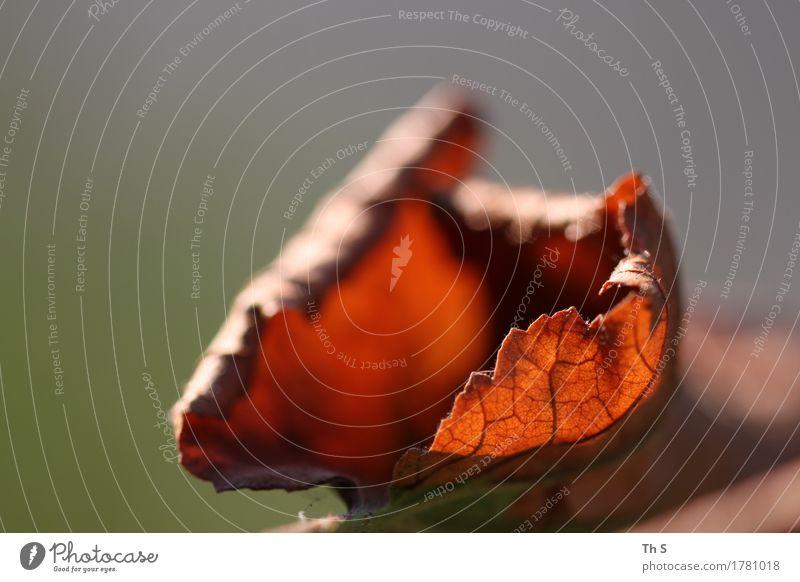 Blatt Natur Pflanze Herbst leuchten verblüht ästhetisch authentisch einfach elegant natürlich braun grau grün orange Gelassenheit geduldig ruhig Design