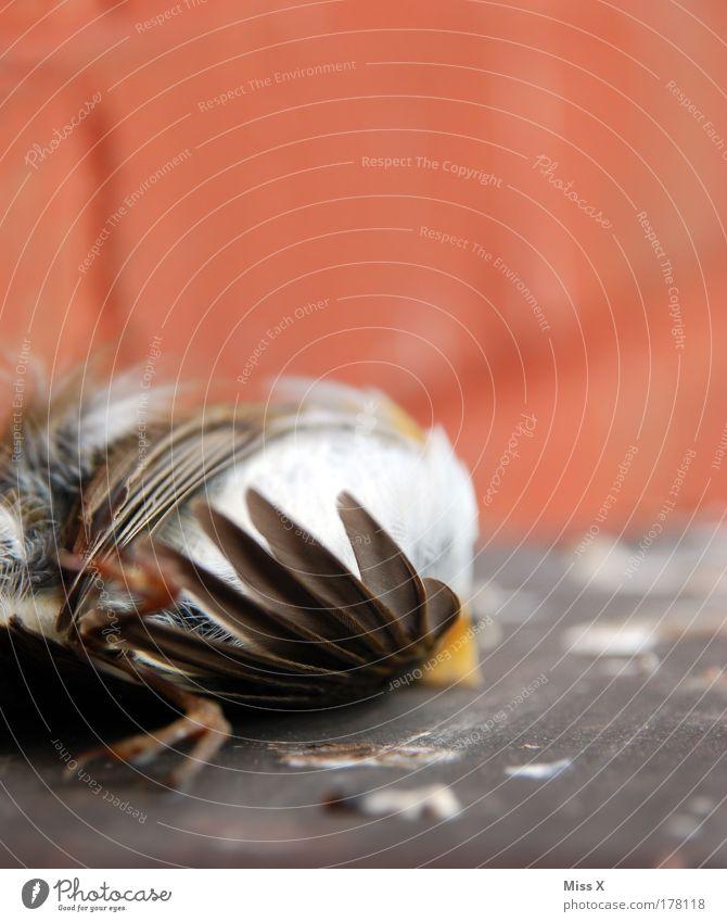 Vogel Natur Tier Wand Tod Traurigkeit Mauer Angst Armut Umwelt Trauer gefährlich trist Feder Flügel Wildtier