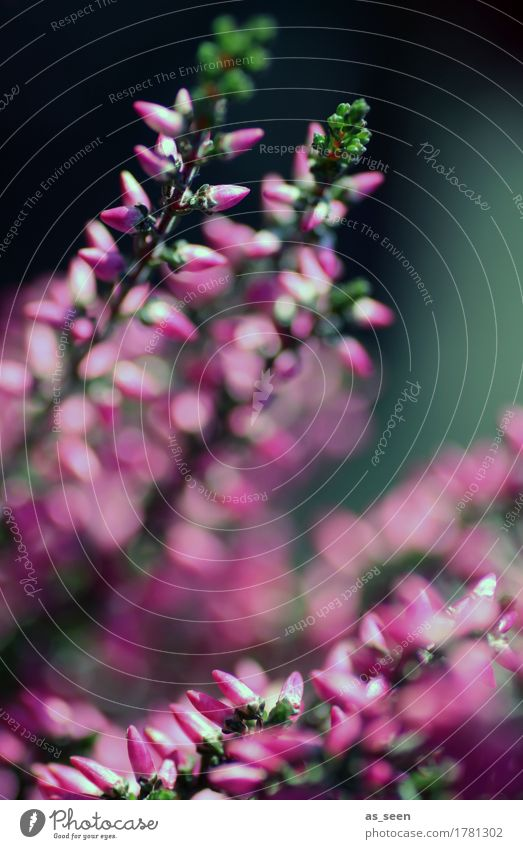 Erika Lifestyle harmonisch Berge u. Gebirge wandern Garten Erntedankfest Umwelt Pflanze Sommer Herbst Blüte Heidekrautgewächse Bergheide Blühend Wachstum grün