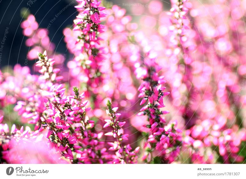 In der Heide Glück Wellness Leben Sinnesorgane Garten Umwelt Natur Pflanze Sommer Herbst Schönes Wetter Blume Heidekrautgewächse Bergheide berühren Blühend