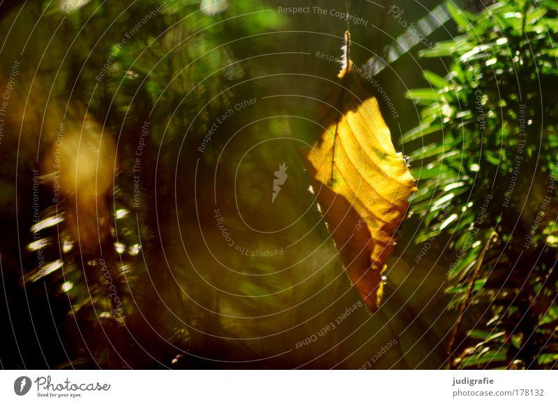 Wald Farbfoto Außenaufnahme Tag Umwelt Natur Pflanze Sonnenlicht Sommer Herbst Baum Blatt leuchten Glück Idylle Vergänglichkeit