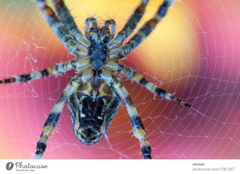 Makroaufnahme einer Kreuzspinne im Spinnennetz vor Hintergrund mit Gelb und Rot Nahaufnahme Garten 1 Tier braun gelb rot Brustkorb Abdomen Unteransicht