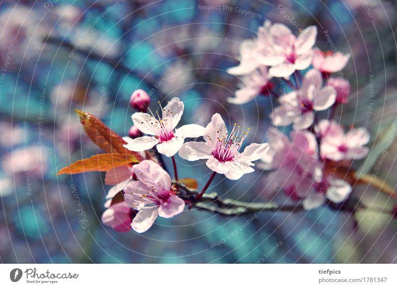 Kirschblüte Frühling Baum Park springen retro rosa cherry blossom tree springtime twig branch sky flower flower head Kirschbaum Kirschblüten krischbluete blute