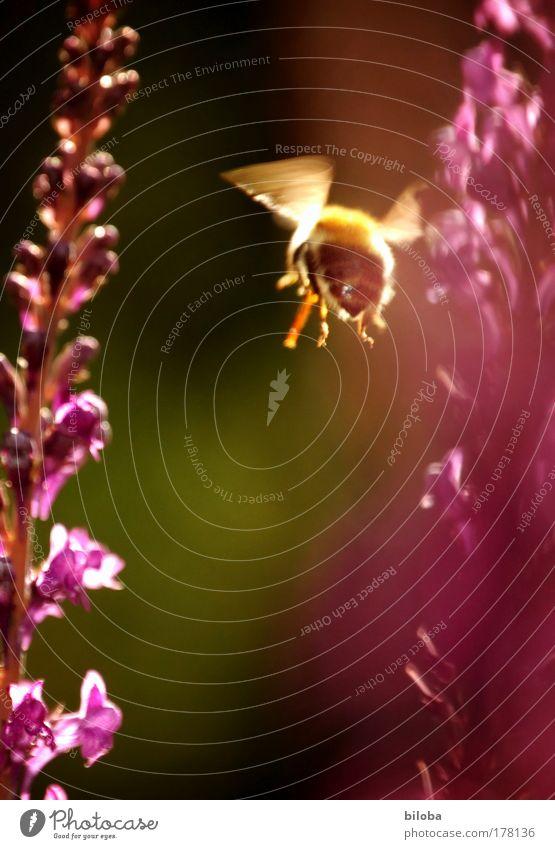 Genug Honig... Natur grün Pflanze Sommer Blume Tier gelb Ernährung Wiese Landschaft Feld Lebensmittel rosa elegant gold fliegen