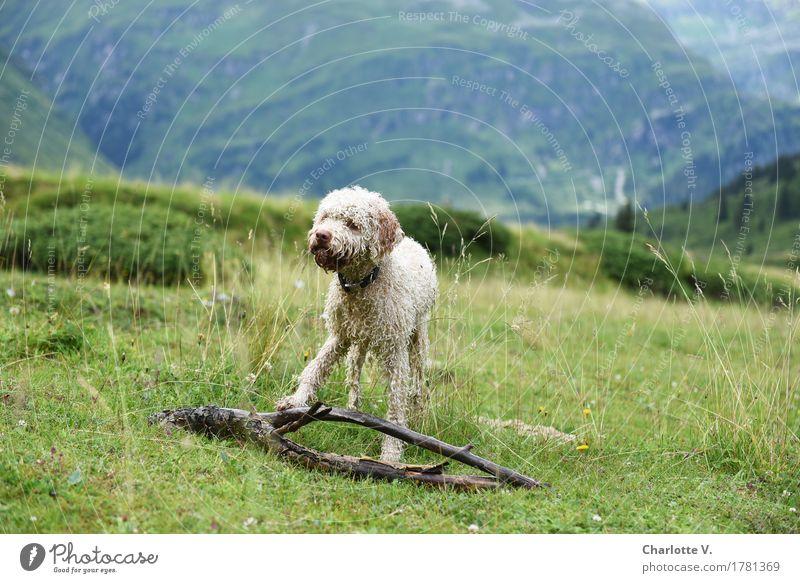 Meins! Landschaft Wiese Alpen Berge u. Gebirge Tier Haustier Hund 1 Zweige u. Äste Holz beobachten berühren festhalten Blick stehen warten stark blau grün weiß