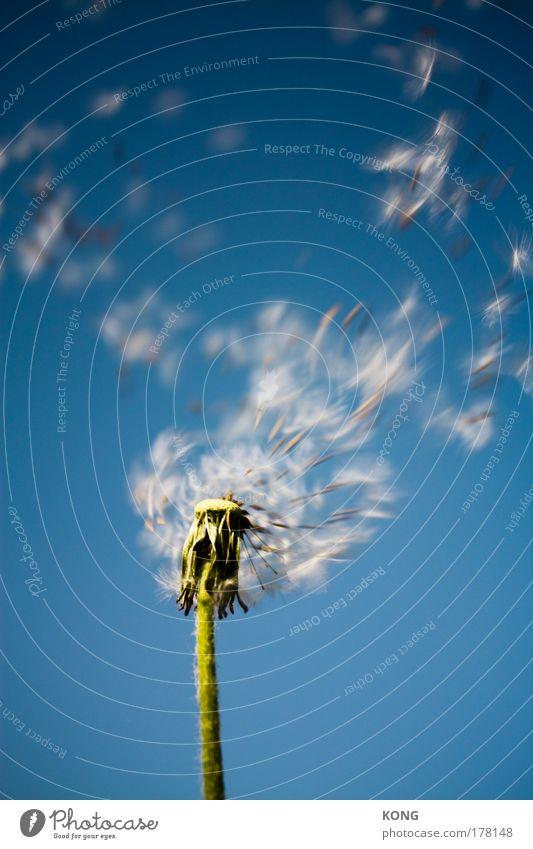 leaving home Pflanze Sommer Blume gehen fliegen Luftverkehr Vergänglichkeit Löwenzahn blasen Dynamik leicht Samen Schweben Abheben Fallschirm luftig