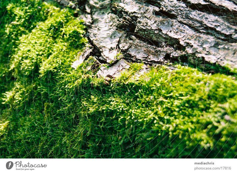 Rinde Baum Moos Baumrinde Eifel Abtei Maria Laach Laacher See