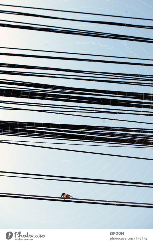 Spatz in Bucuresti Himmel blau Einsamkeit Tier schwarz braun Vogel Luft sitzen warten Kabel durcheinander Leitung Rumänien Bukarest