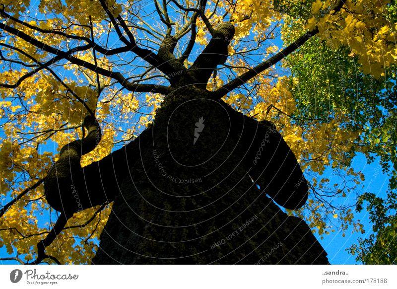 baumriese Farbfoto Außenaufnahme Tag Froschperspektive Umwelt Natur Pflanze Herbst Schönes Wetter Baum Holz alt groß stark blau gelb grün schwarz ruhig