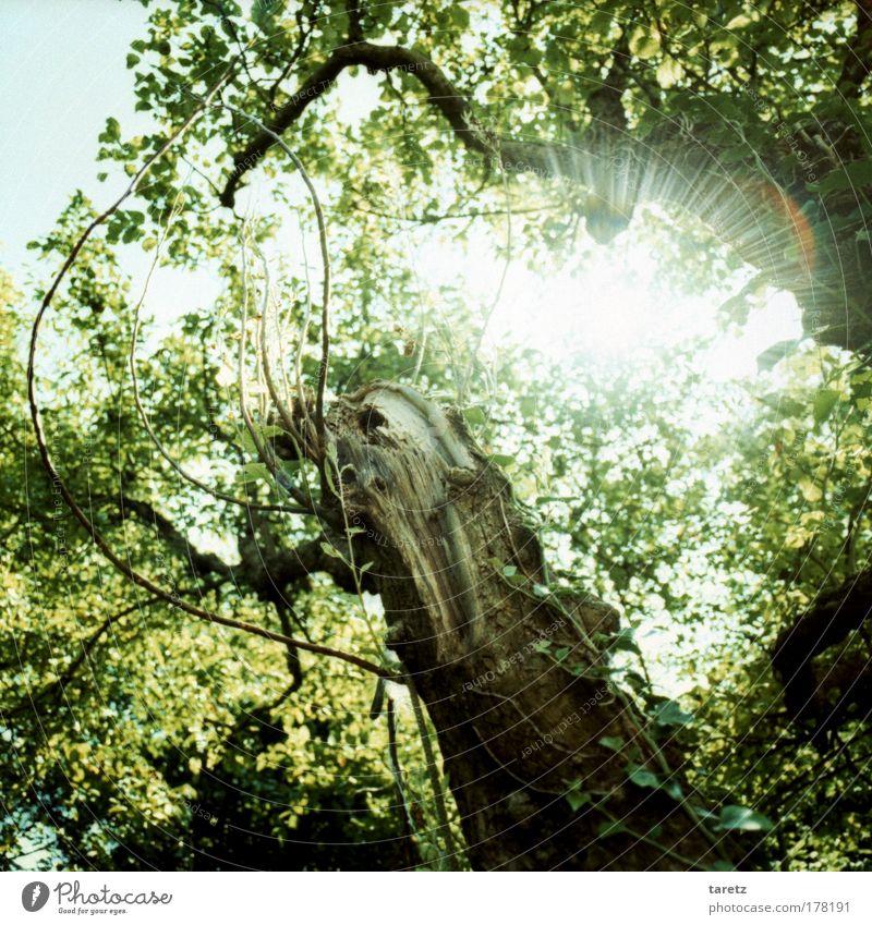 Sonnenstrahlen! Natur Pflanze Himmel Wolkenloser Himmel Sonnenlicht Sommer Schönes Wetter Baum Efeu natürlich blau braun grün Stimmung Glück Lebensfreude Farbe