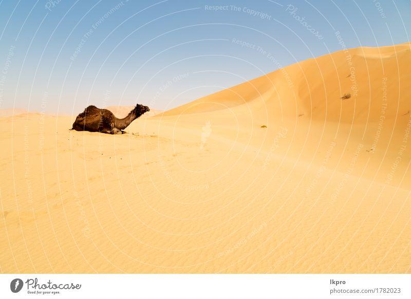y in Oman leeres Viertel der Wüste ein freies Ferien & Urlaub & Reisen Abenteuer Safari Sommer Natur Tier Sand Himmel Wolken heiß wild braun gelb grau schwarz