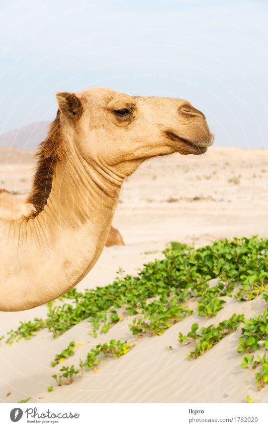 ein freies Dromedar in der Nähe des Meeres Ferien & Urlaub & Reisen Tourismus Safari Sommer Natur Pflanze Tier Sand Himmel heiß wild braun grau schwarz weiß