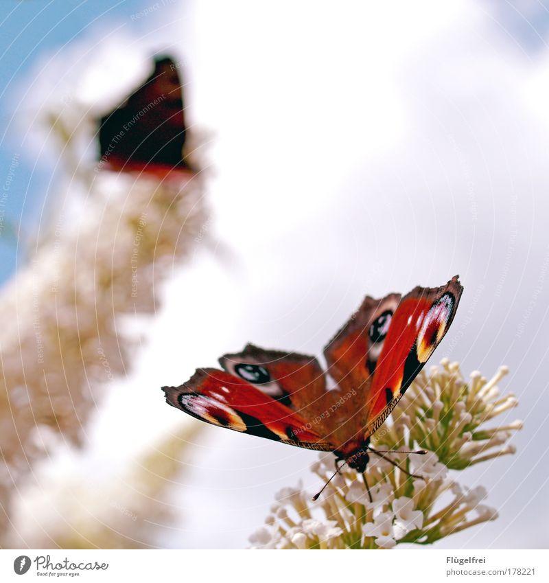 Schmetterlinge Tier Flügel 2 Insekt Blume saugen Tagpfauenauge mehrfarbig schön gefleckt braun Vordergrund hell Ganzkörperaufnahme Blüte Nektar Außenaufnahme