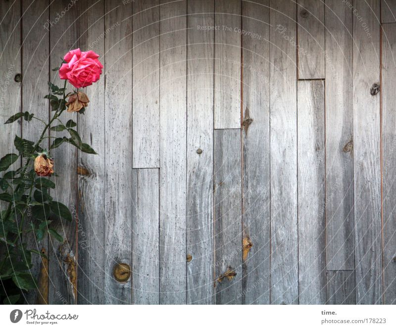 Rumstehen vor Bretterwand (II) Rose rot Holz Wand Holzwand grün Blume Zweig Maserung Blüte Zuchtpflanze Holzbrett Lagerschuppen Strukturen & Formen grau einfach
