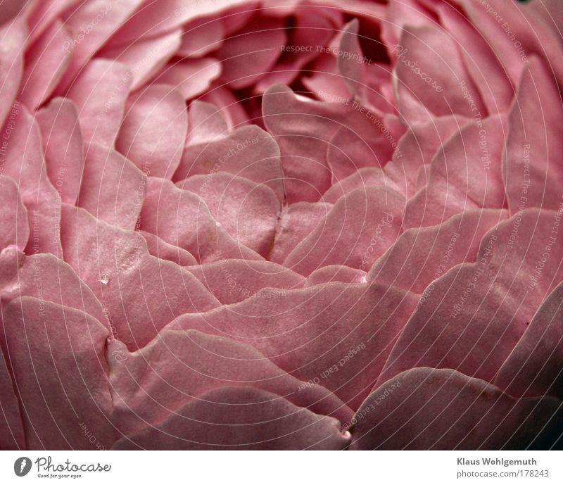 Duftwolke Natur schön Pflanze Sommer Blume Erholung rosa elegant ästhetisch Wachstum Romantik Rose Sinnesorgane