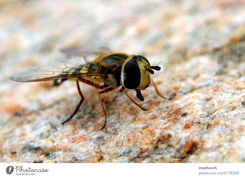 auf augenhöhe Außenaufnahme Detailaufnahme Makroaufnahme Tag Licht Kontrast Sonnenlicht Schwache Tiefenschärfe Tierporträt Halbprofil Natur Fliege Biene Flügel