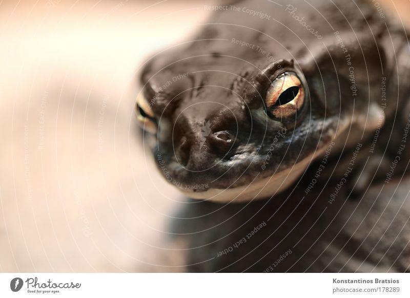 lick me! Tier Auge dunkel sitzen Nase groß beobachten feucht dick Frosch Rauschmittel atmen Aquarium Gift Amphibie vergiften