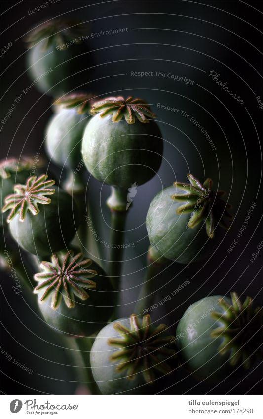 101 Farbfoto Innenaufnahme Pflanze Blume Blumenstrauß dehydrieren dunkel schwarz träumen Natur Vergänglichkeit Mohn Mohnkapsel verblüht Trockenblume