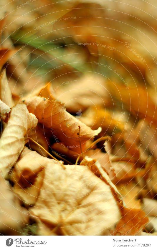 Herbstlaub Farbfoto Gedeckte Farben Außenaufnahme Nahaufnahme Detailaufnahme Makroaufnahme Experiment Menschenleer Abend Licht Unschärfe Starke Tiefenschärfe