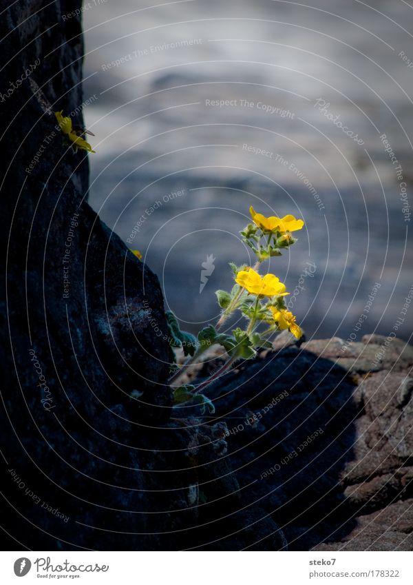 ausgewachsen Blume Blüte gelb Frühlingsgefühle standhaft Felsspalten Farbfoto Nahaufnahme Menschenleer Felswand Blühend Textfreiraum oben