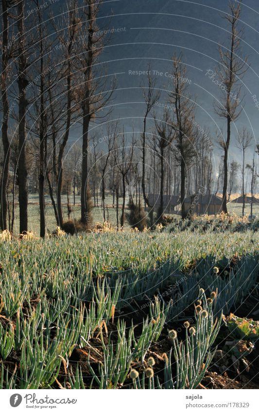 zwiebelfeld unter bäumen Natur Baum grün Pflanze ruhig Haus Gras Landschaft Stimmung braun Nebel Umwelt ästhetisch Wachstum Asien Idylle