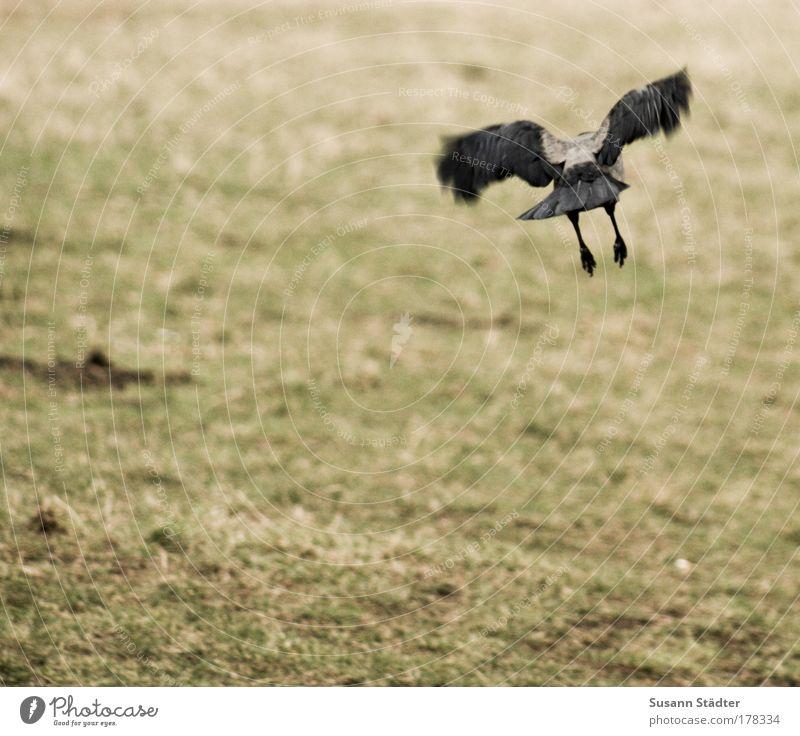 vom Himmel Natur Pflanze schwarz Tier dunkel Wiese Bewegung Luft Vogel Feld fliegen Feder Jagd Taube Krallen Rabenvögel