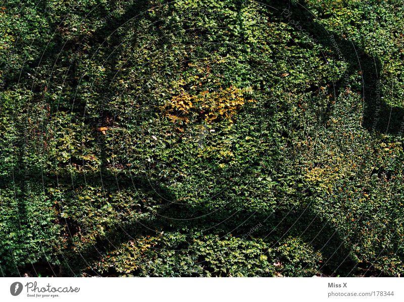 Schatten Farbfoto Gedeckte Farben Außenaufnahme Licht Sonnenlicht Umwelt Natur Pflanze Sträucher Blatt Grünpflanze Park grün Hecke Ast Tag