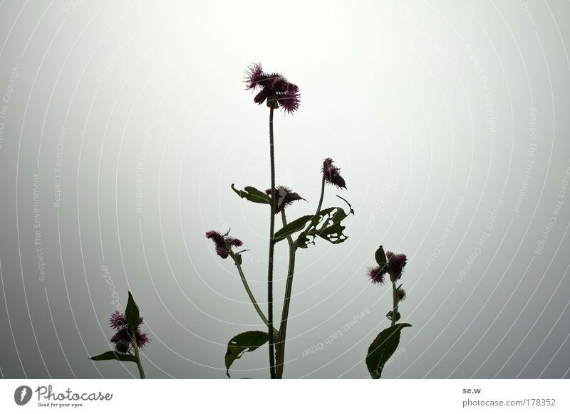 Irgendwie erleuchtet Farbfoto Nahaufnahme Menschenleer Silhouette Nebel Pflanze Wildpflanze Natur Gegenlicht E5