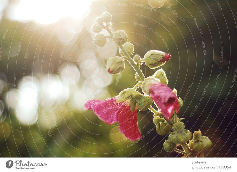 Der Sonne entgegen Farbfoto Außenaufnahme Textfreiraum links Textfreiraum rechts Abend Licht Gegenlicht Schwache Tiefenschärfe Umwelt Natur Pflanze Frühling