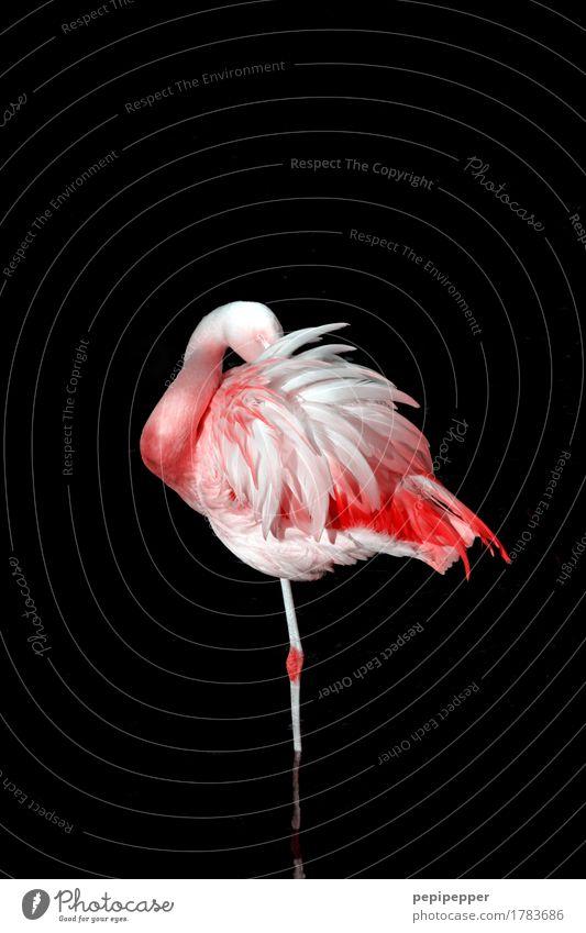 still standing Natur Einsamkeit Tier schwarz Vogel rosa Wachstum elegant Körper Wildtier ästhetisch Feder Flügel Zoo Flamingo