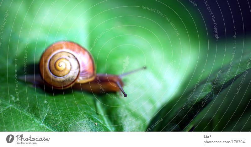 bedächtig Farbfoto mehrfarbig Außenaufnahme Nahaufnahme Detailaufnahme Makroaufnahme Schwache Tiefenschärfe Schnecke 1 Tier gelb grün geduldig ruhig Einsamkeit