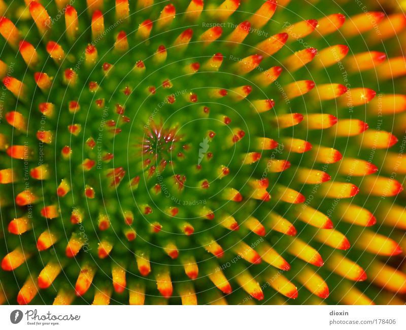 Echinacea purpurea Gesundheit Umwelt Natur Pflanze Blume Blüte Nutzpflanze Wildpflanze exotisch Roter Sonnenhut Blühend nah gelb grün rot Heilpflanzen