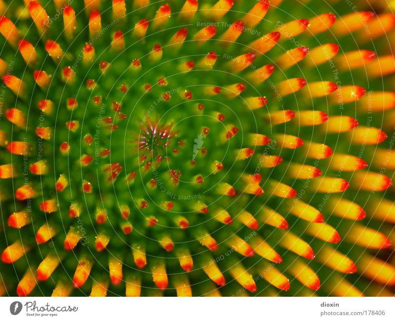 Echinacea purpurea Makroaufnahme Natur grün rot Pflanze Blume gelb Umwelt Blüte Gesundheit Blühend Detailaufnahme exotisch Nahaufnahme Blütenblatt
