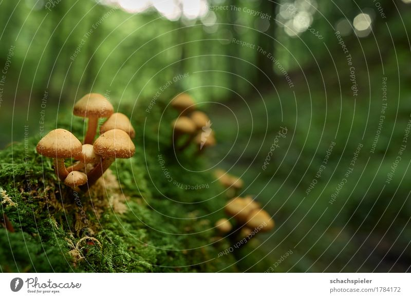 Pilzzeit Natur Pflanze grün Baum Wald Umwelt Herbst klein braun Wachstum Moos Pilzhut