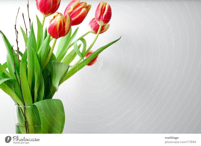 5 tulpen Natur weiß Blume grün rot Frühling Blumenstrauß Tulpe