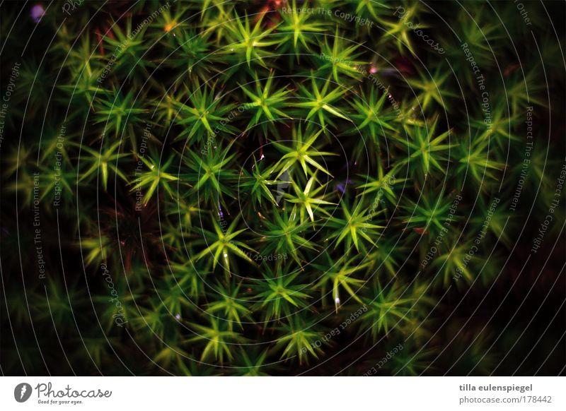 * Farbfoto Außenaufnahme Muster Menschenleer Natur Tier Pflanze Moos Grünpflanze dunkel natürlich grün schwarz bizarr exotisch Symmetrie Stern (Symbol)