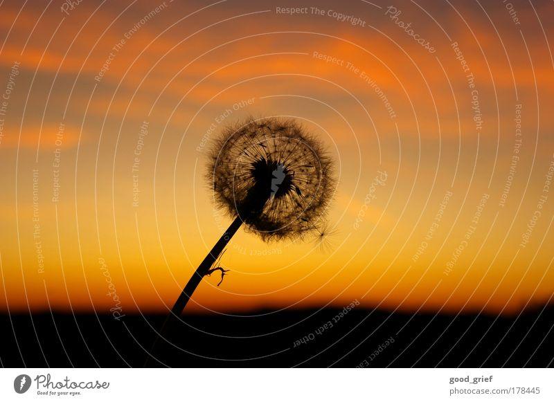 die letzte ungepustete Blume Farbfoto mehrfarbig Außenaufnahme Menschenleer Textfreiraum links Textfreiraum rechts Dämmerung Licht Sonnenlicht Sonnenstrahlen