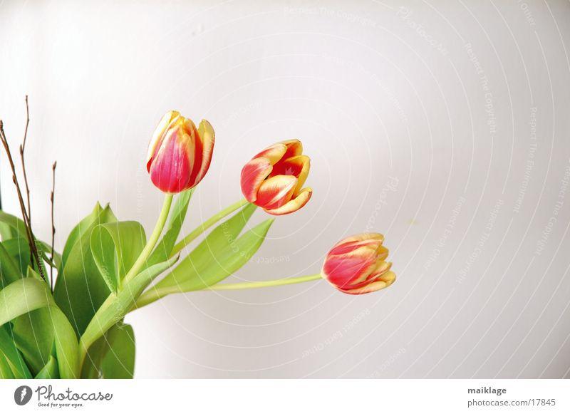 3 tulpen Natur weiß Blume grün rot Frühling Blumenstrauß Tulpe
