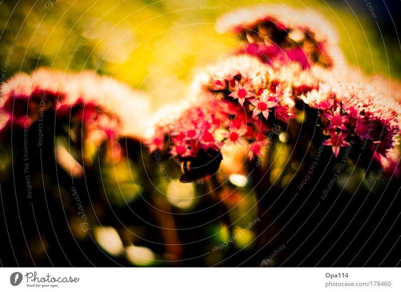 Blütentraum Natur grün rot Pflanze Sommer Blume schwarz gelb Erholung Umwelt Wärme Frühling träumen Wetter gold