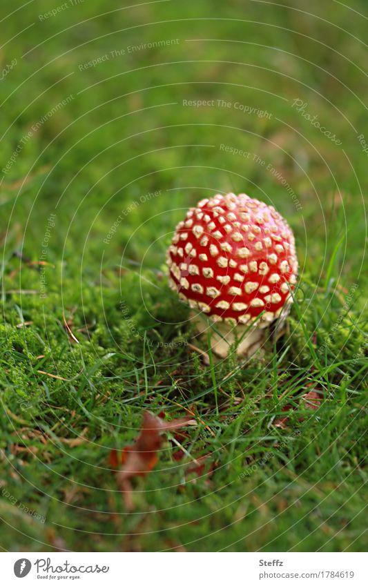ein kleiner Glückspilz auf einer Graswiese Fliegenpilz Pilz roter Fliegenpilz Amanita muscaria Glücksbringer Glückssymbol roter Pilz kleiner Pilz Pilzhut