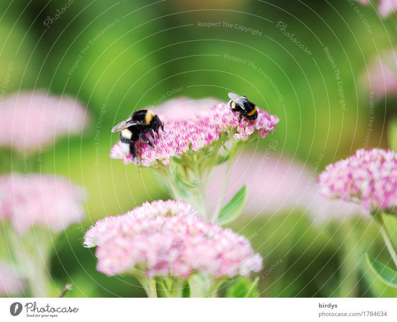 Spätsommerhummeln Sommer Schönes Wetter Blume Blüte Garten Hummel Insekt 2 Tier Blühend Duft krabbeln ästhetisch Freundlichkeit natürlich positiv grün rosa