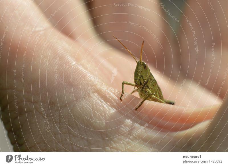 gute Aussicht Mensch Haut Hand Finger Tier Wildtier Tiergesicht Heuschrecke 1 hocken sitzen Coolness schön grün Farbfoto mehrfarbig Außenaufnahme Nahaufnahme