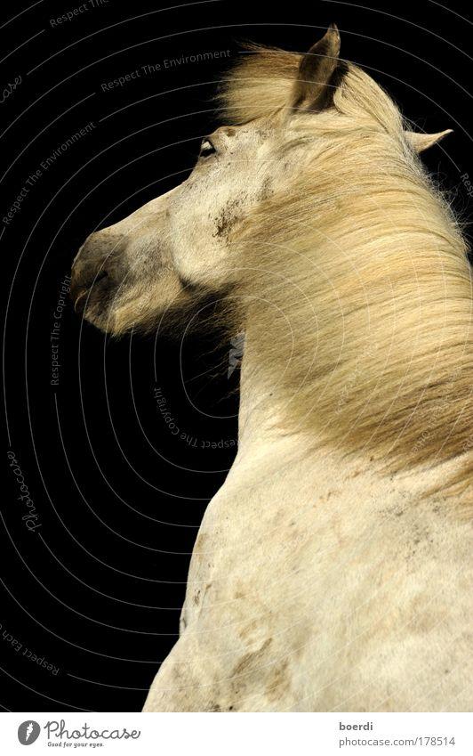 schAttenfell weiß schön Tier ruhig Leben Haare & Frisuren Stimmung Kraft Zufriedenheit blond Wildtier elegant außergewöhnlich ästhetisch Pferd