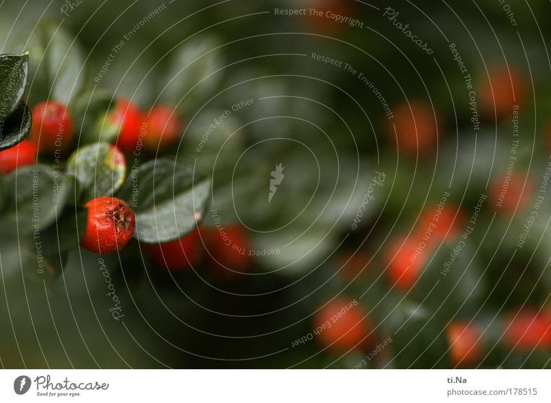 *70* rote Beeren Natur schön grün Pflanze rot Sommer Tier Landschaft Umwelt Wachstum Sträucher authentisch leuchten schlechtes Wetter Beerensträucher Beerenfruchtstand