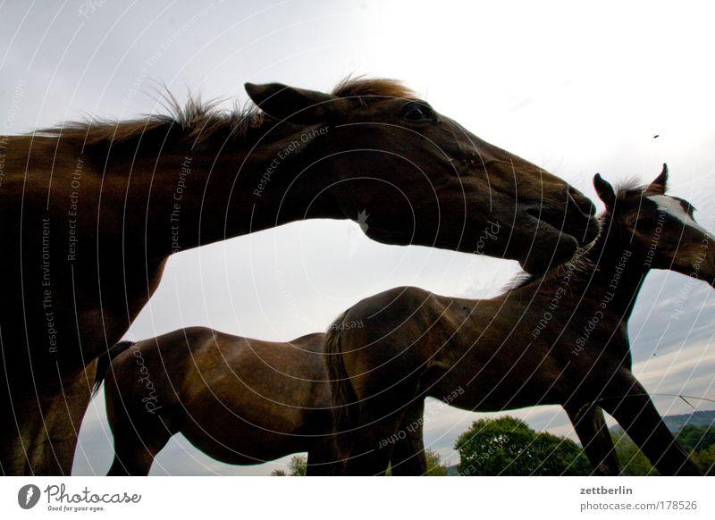 Pferde Herde huftier Landwirtschaft pferdeherde Pferdezucht Reittier Weide Wiese Ackerbau Tierzucht Textfreiraum