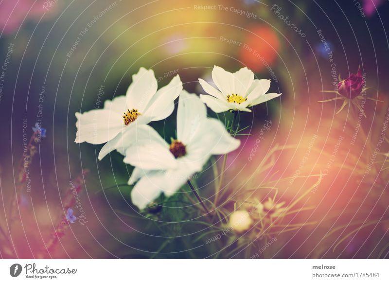 Drillinge elegant Stil Natur Pflanze Sommer Schönes Wetter Blume Gras Sträucher Blüte Wildpflanze Blumenwiese Blütenknospen Garten Wiese Lichtspiel Farbenspiel